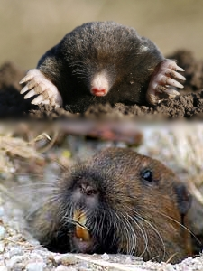 The Gopher and the Mole